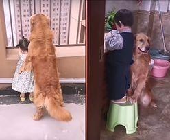 Pies dba o dziecko jak niańka. Układa do snu i okrywa kocem