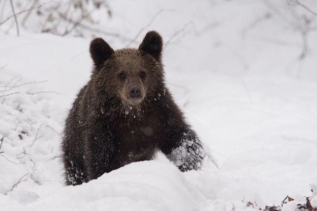 Niedźwiedzie w sytuacji zagrożenia mogą zachowywać się agresywnie