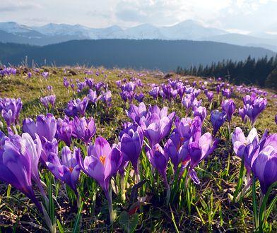 Krokusy zaczęły kwitnąć m.in. w górach i w Szczecinie