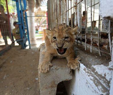 Lwy są hodowane w niewoli