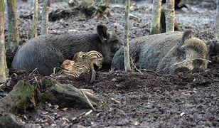 Dziki pełnią zbyt ważną rolę w ekosystemach, by ot tak się ich pozbyć.