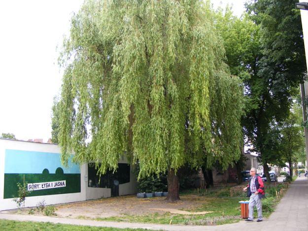 Wyjątkowa wierzba z Poznania walczy o tytuł Drzewa Roku!