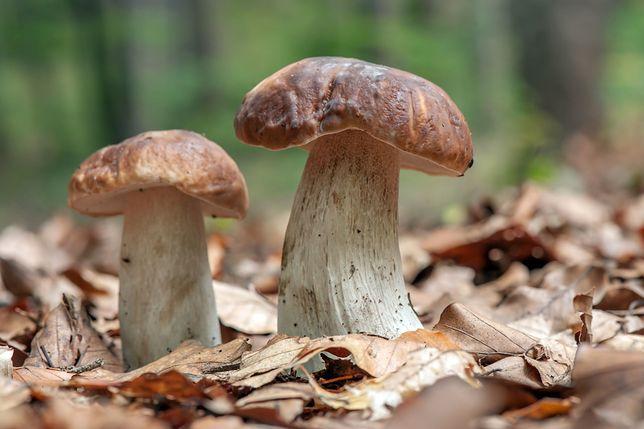 Wysyp grzybów pozwala też na nich zarobić.