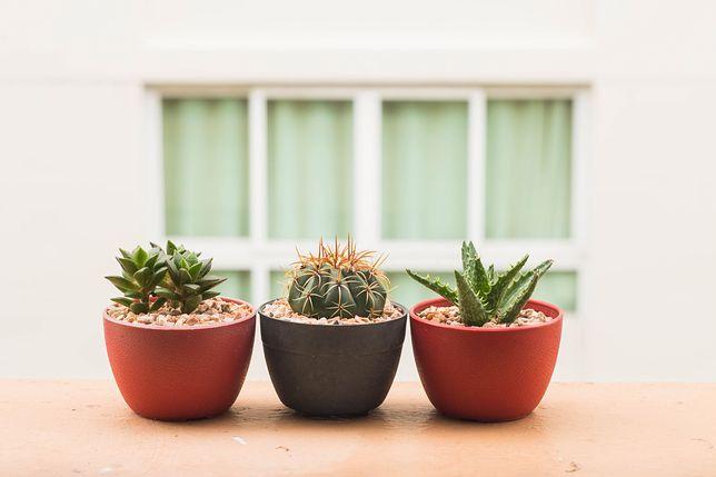 W obliczu kaktusa