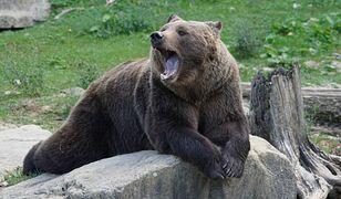 Z gołymi pięściami ruszyła na niedźwiedzicę z młodymi. Jest nagranie