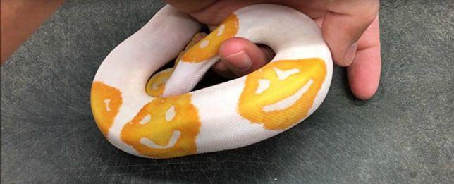 Wyhodował węża we wzór z emoji. Zajęło mu to 8 lat