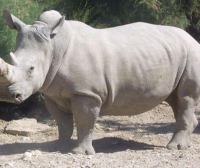 Cudem ocalili porzuconego przez matkę nosorożca