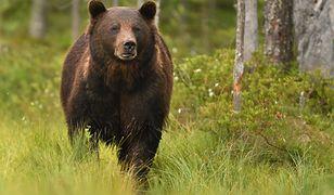 Gorce. Grzybiarz znalazł zwłoki młodego niedźwiedzia. Znana przyczyna śmierci