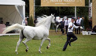 Krajowy Ośrodek Wsparcia Rolnictwa przekonuje, że coroczna aukcja Pride of Poland w Janowie Podlaskim jest niezagrożona