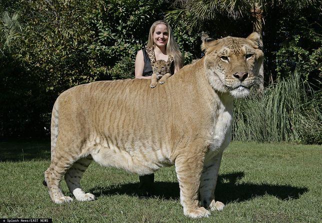 Największy kot na świecie.