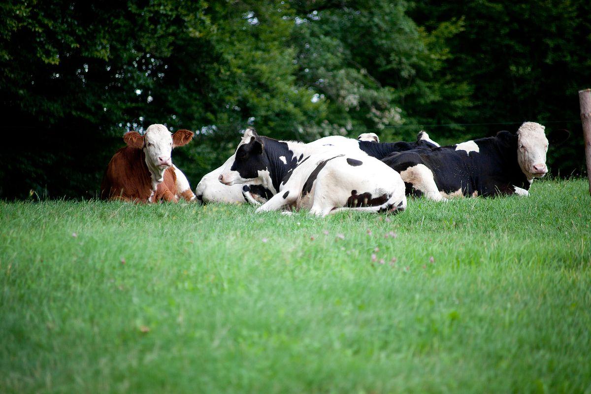 Bezpańskie krowy z gminy Deszczno. Wciąż nie ma decyzji w sprawie uboju