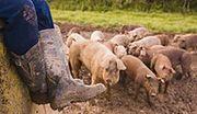 Śląskie wolne od choroby Aujeszky'ego u świń