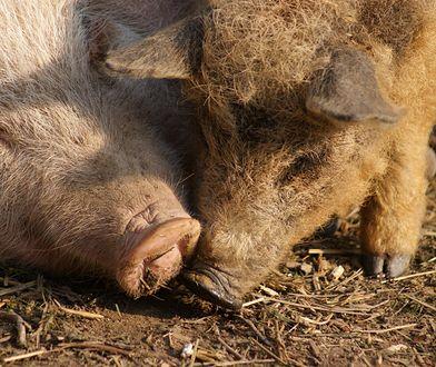 Osiek. Świnie zjadły hodowcę. Zostaną zabite