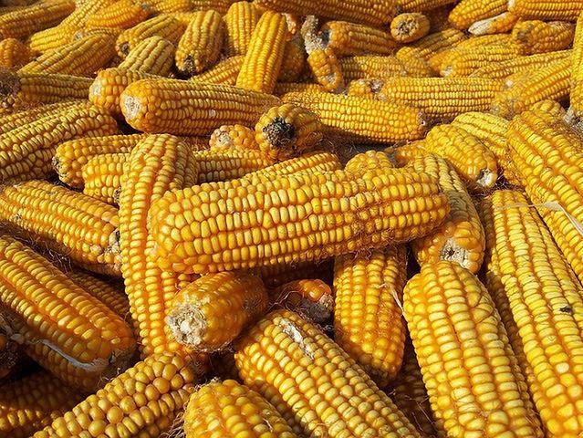 Szkodniki kukurydzy