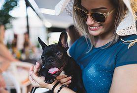 Pies domowy rasy małe – maltańczyk, shi-tsu, pekińczyk, buldog francuski, Chihuahua