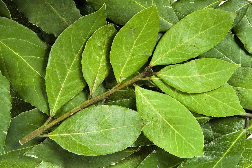 Właściwości liści laurowych