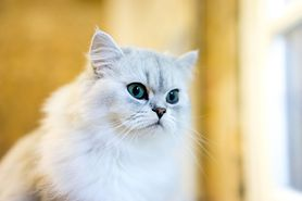 Kot perski – charakter, pielęgnacja, dieta, cena