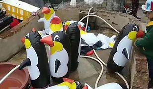 Chińskie zoo przygotowało dla swoich gości nietypową atrakcję
