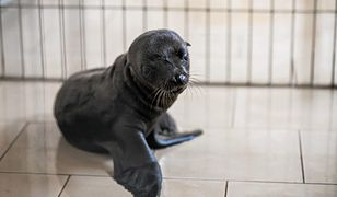 Wybierz imię dla uroczej uchatki. Opolskie zoo ogłosiło konkurs