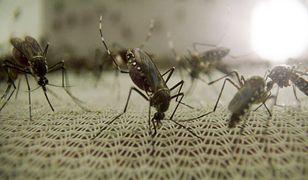 Komar - drobne, ale śmiertelnie niebezpieczne stworzenie