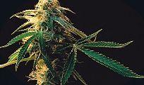 """""""Drodzy bracia w... marihuanie"""""""
