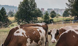 Jelenia Góra. Miastowi chcą przepędzić ze wsi ostatniego rolnika. Śmierdzą im jego krowy