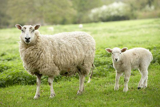 W Nowej Zelandii jest 20 razy więcej owiec niż ludzi