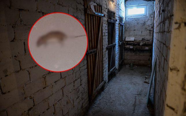 Katowice walczą ze szczurami. Truchła od tygodni zalegają w piwnicy