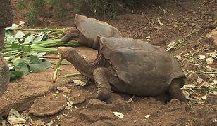 Żółw seksoholik uratował swój gatunek. Po wypełnieniu misji wraca na wolność