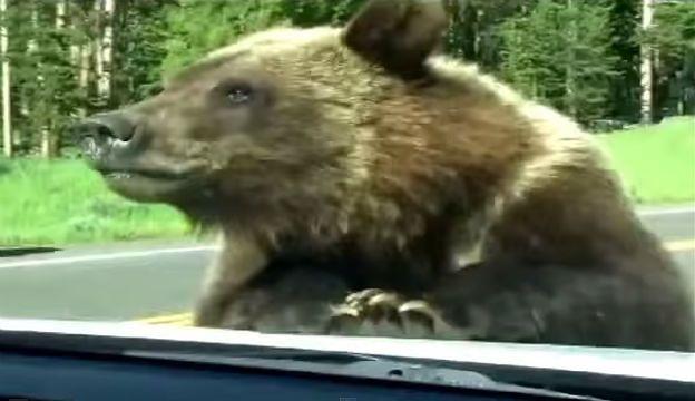 Bliskie spotkanie z grizzly. Niedźwiedź wskoczył na samochód