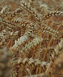 GUS: w lipcu początek żniw, potaniały produkty roślinne