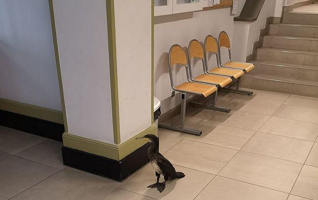 Kormoran wszedł do rejestracji dla pacjentów