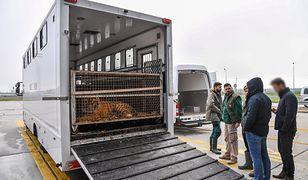 Tygrysy w klatkach w ciężarówce na polsko-białoruskiej granicy w Koroszczynie
