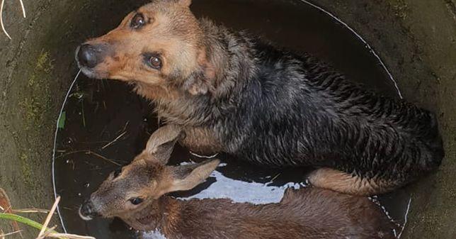 Krzewina. Pies i sarna uwięzione w studni. Przerażone zwierzęta uratowali strażacy