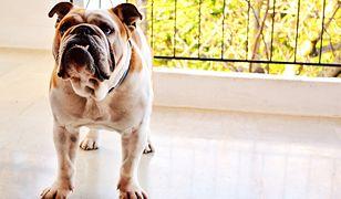 W zdecydowanej większości dużych miast nie zapłacisz podatku za posiadanie psa. Ale wiele mniejszych gmin żąda za to słonych opłat