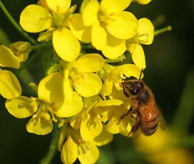 Mleczko pszczele uważane jest za nektar długowieczności i młodości.