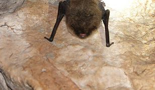 Poza stalagmitami w jaskini Raj można zobaczyć śpiące nietoperze