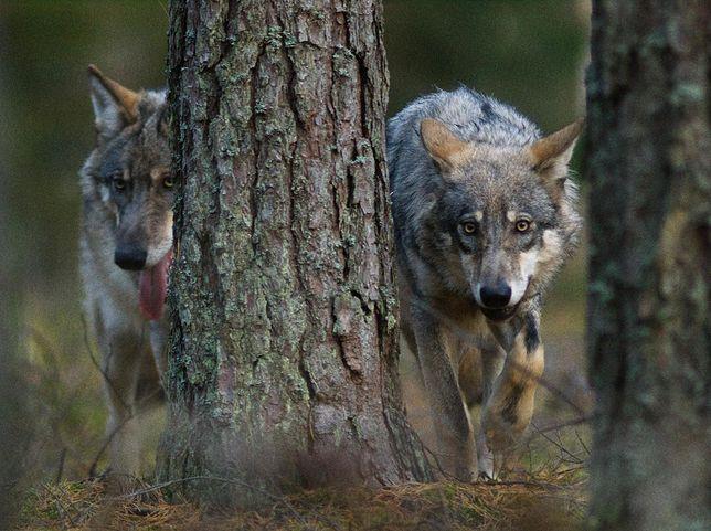 Idąc za wilkiem
