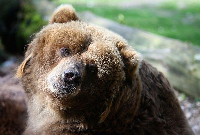 Najbardziej poszukiwany niedźwiedź Europy odnaleziony. Poszukiwania trwały 42 dni