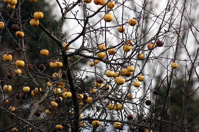 Zdziczałe jabłonie pod Arłamowem. Kto by przypuszczał, że to cenny surowiec dla ekologicznych produktów