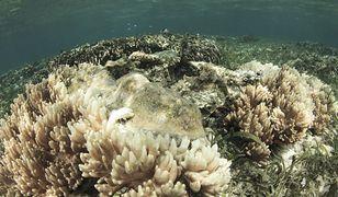Jedna trzecia koralowców w północnej i centralnej części Wielkiej Rafy Koralowej jest martwa