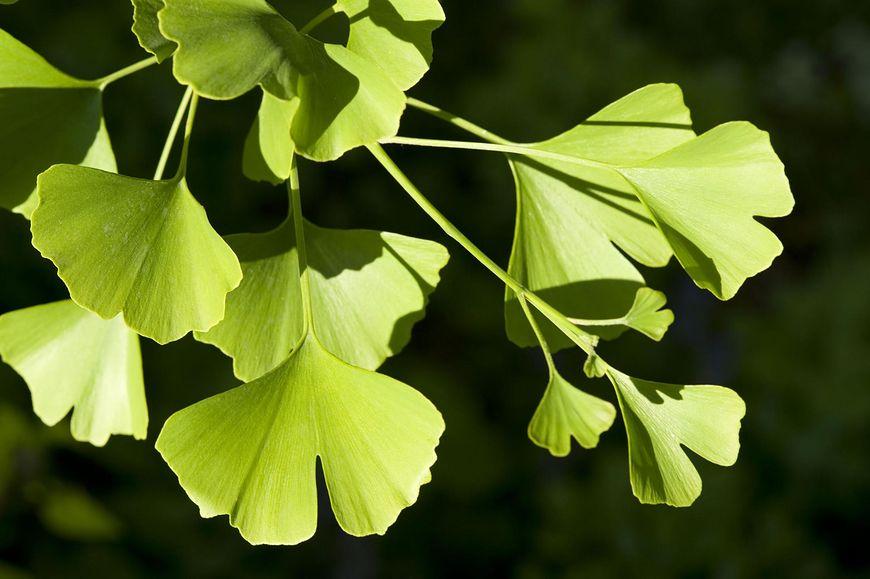 To nie tylko jedna z najzdrowszych roślin na naszej planecie, ale również jeden z najstarszych gatunków, jaki kiedykolwiek pojawił się na ziemi