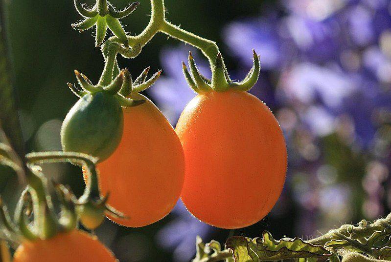 Żółte pomidory