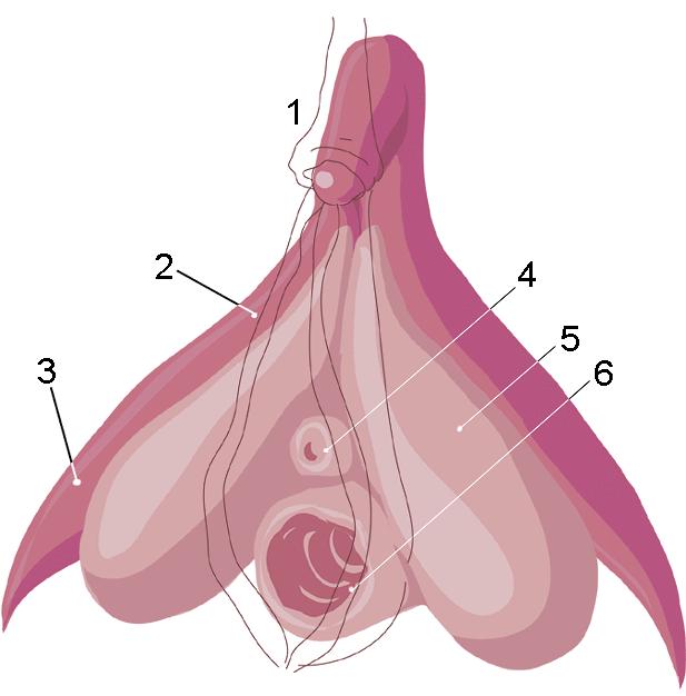 Schemat budowy łechtaczki