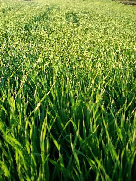 Trawa pszeniczna