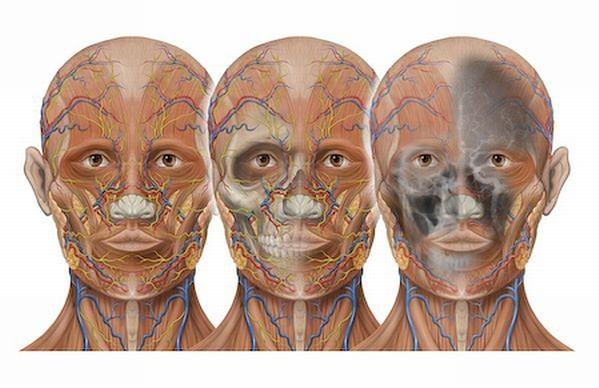 Atlas anatomiczny - schemat naczyń krwionośnych na głowie