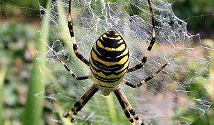 Plaga pająków w Polsce