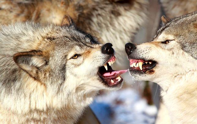 """Bieszczady: Wilki zlikwidowały problem bezpańskich psów. """"Po prostu je zjadły"""""""