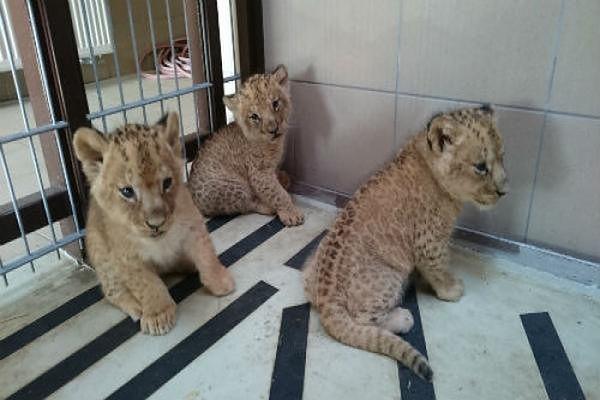W gdańskim Zoo urodziły się trzy małe lwy