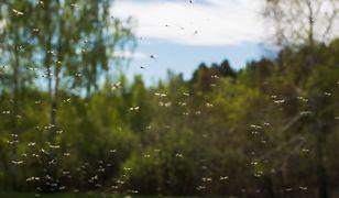 Plaga komarów w Krakowie